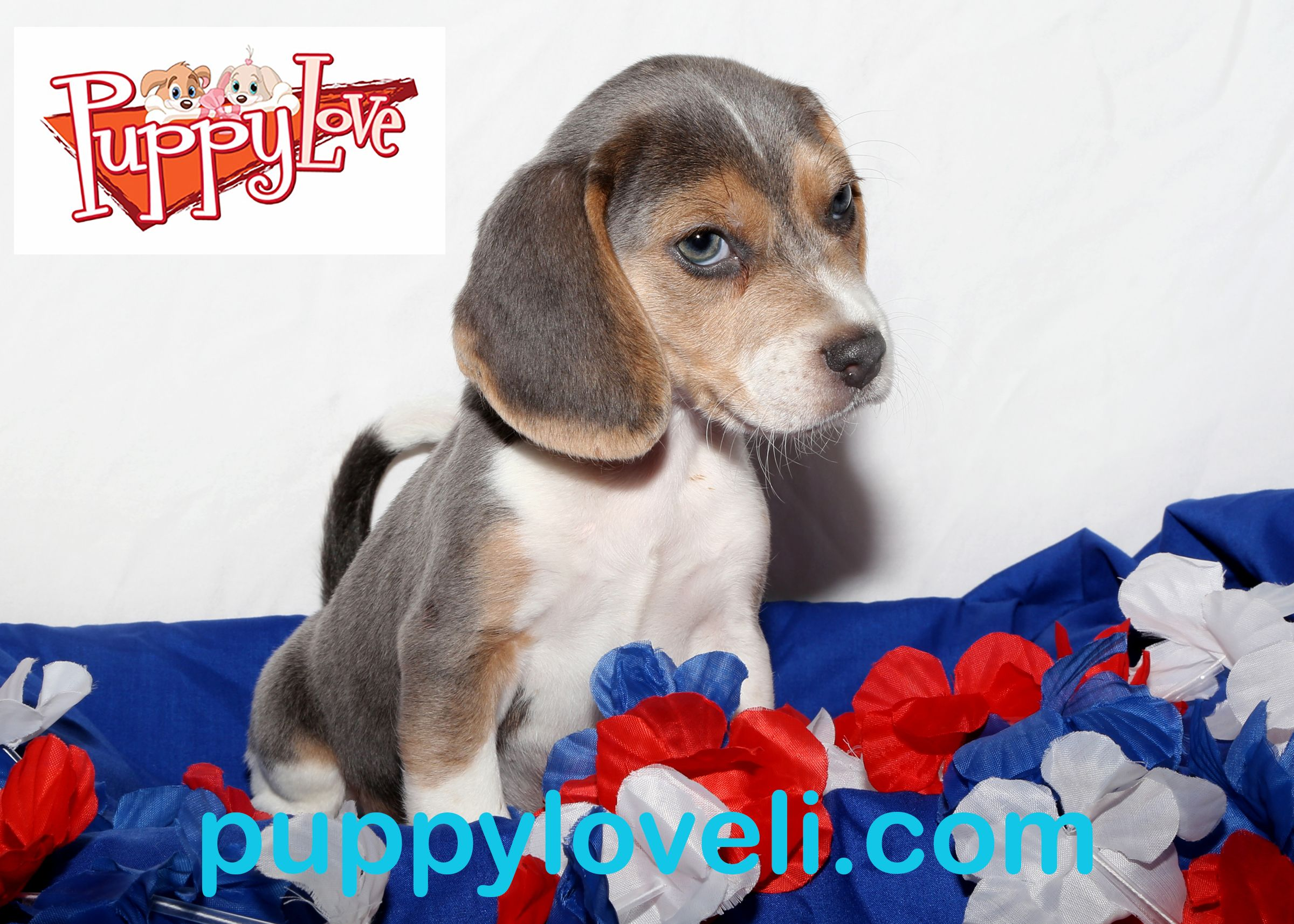 Beagle For Sale On Long Island At Puppy Love Franklin Square