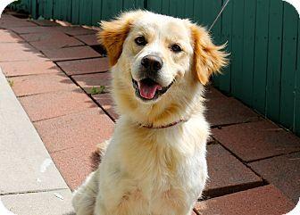 Los Angeles Ca Golden Retriever Mix Meet Dani A Puppy For
