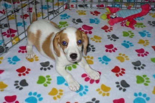 Beagle Puppy For Sale In Tucson Az Adn 44947 On Puppyfinder Com