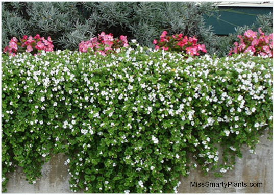 Small Hanging Basket Flowers: Bacopa: Small White Or Purple Flowers; Trailing Habit