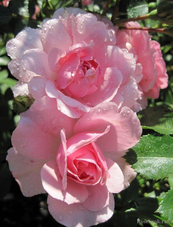 Bonica rose rose floreale e fiori for Creazioni giardini