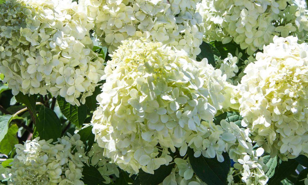 Why Won T My Hydrangea Bloom In 2020 Hydrangea Bloom Hydrangea Care Hydrangea Not Blooming