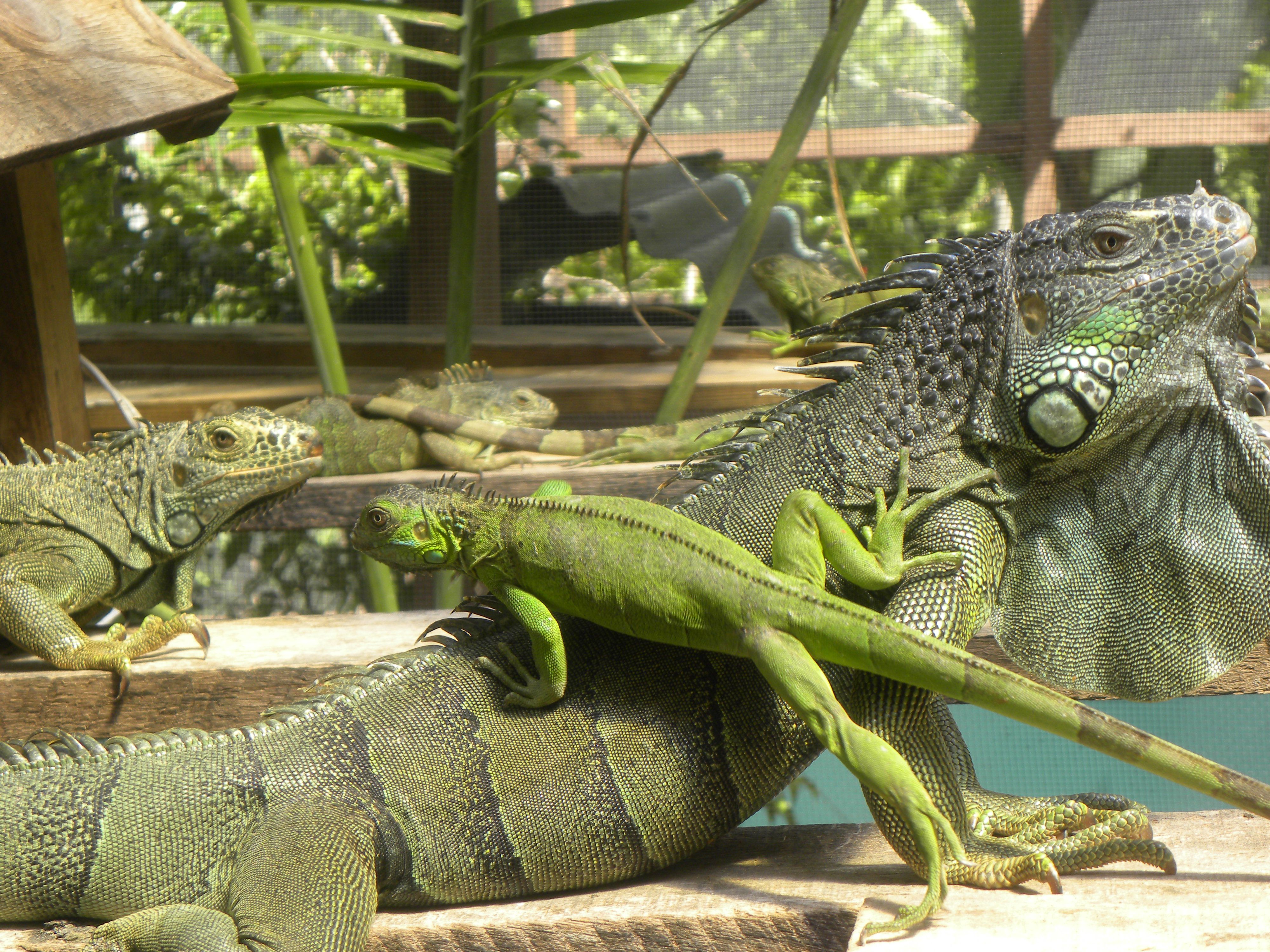 #greeniguanabelize #iguanafacts #conservation