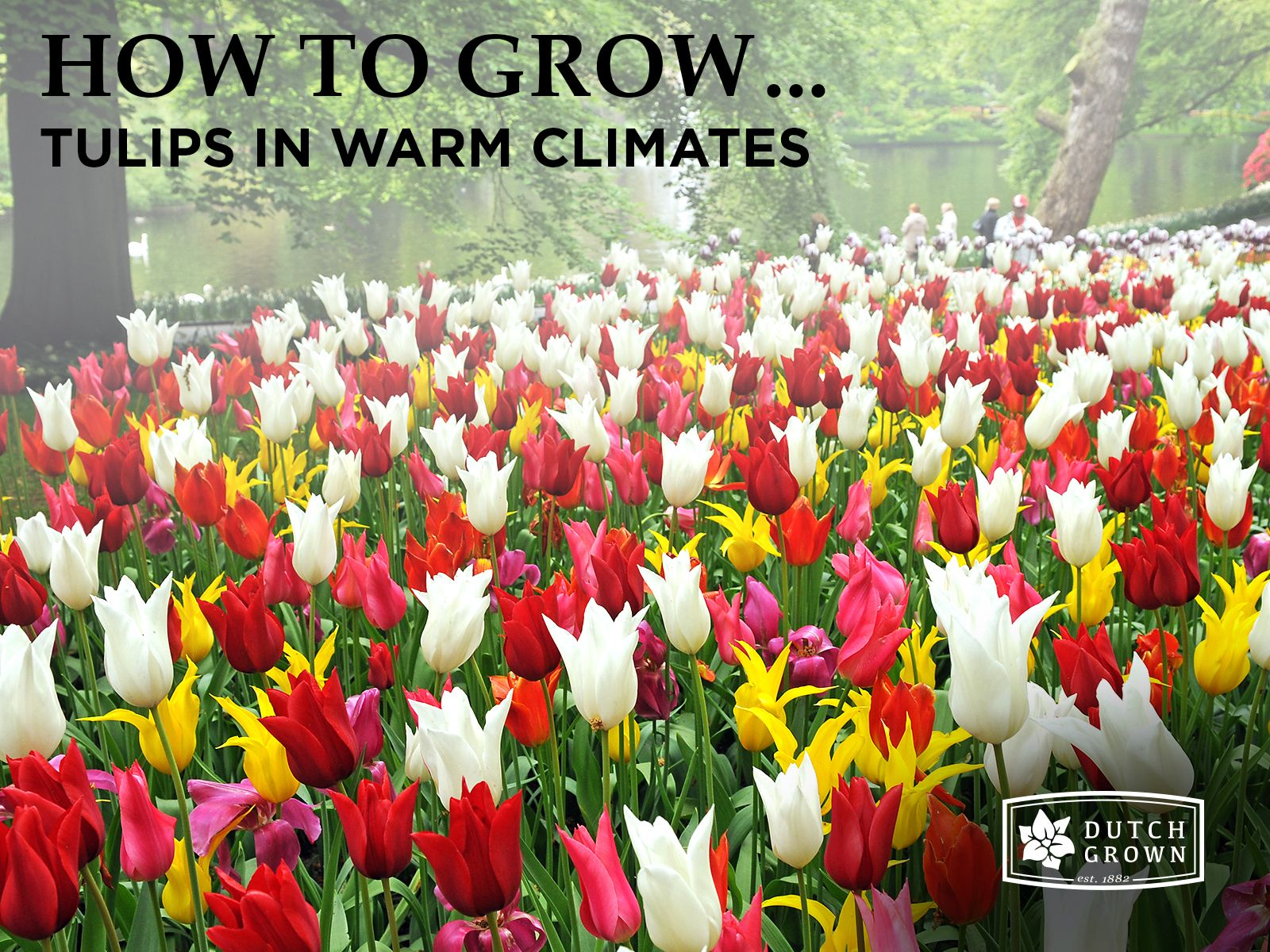 Tulips In Hot Climates Is It Possible Garden Soil Bulb Flowers Botanical Tulip