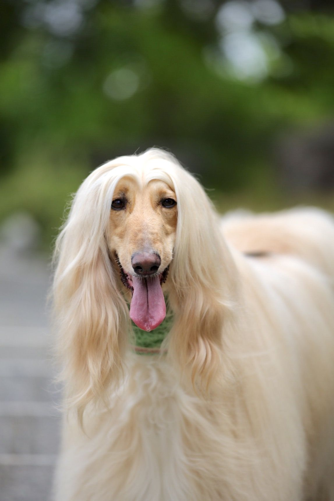 Pin By Dawn Mathieson On Afghan Fan Afghan Hound Dogs