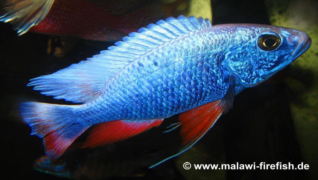 Electric Blue Cichlid Female