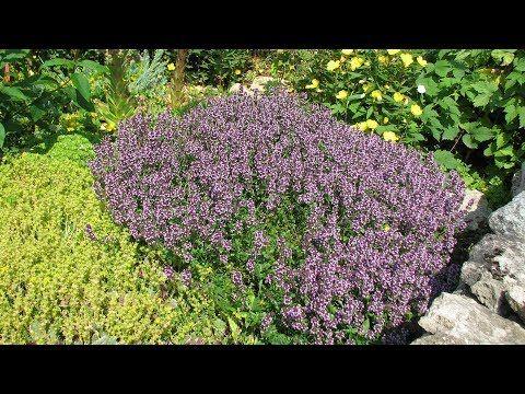 Photo of Богородская трава в вашем саду Как вырастить тимьян и чабрец