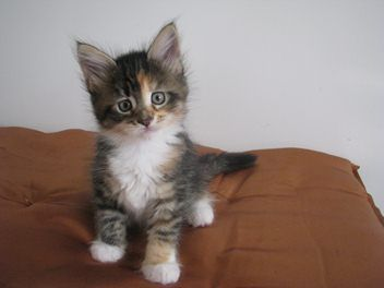 Cute as Maine coon kitten