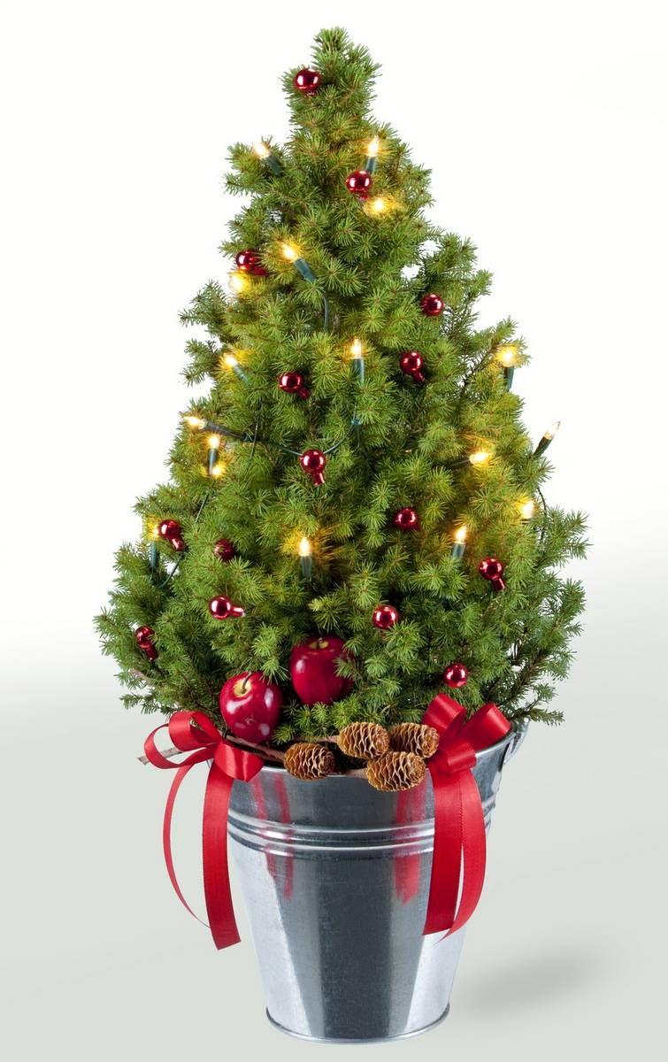artikel nicht lieferbar zuckerhutfichte weihnachten. Black Bedroom Furniture Sets. Home Design Ideas