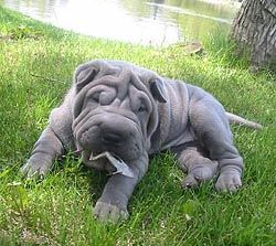 Shar Pei S Are The Best Dogs Ever I D Love A Blue Horse Hair Pei