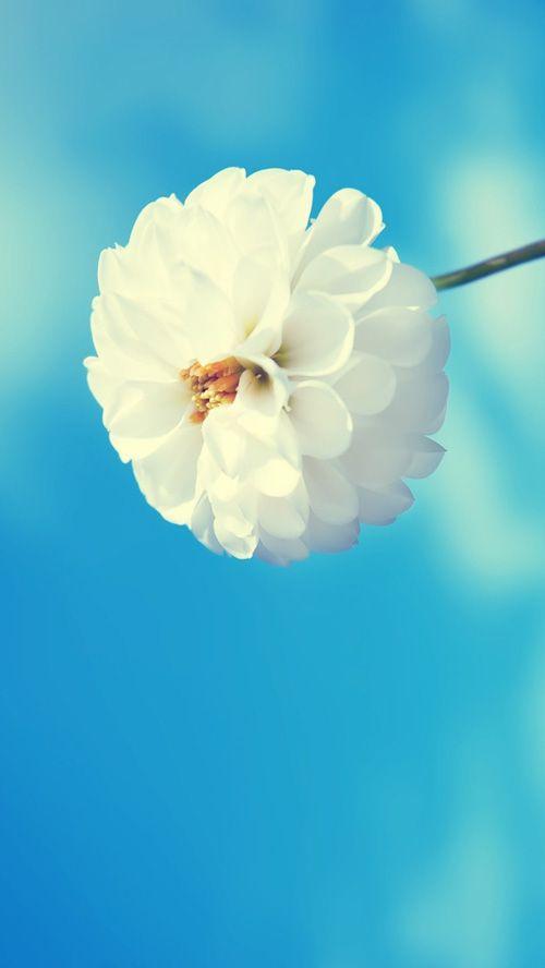 45 Stunning Fresh Iphone 5 Wallpapers White Flower Wallpaper