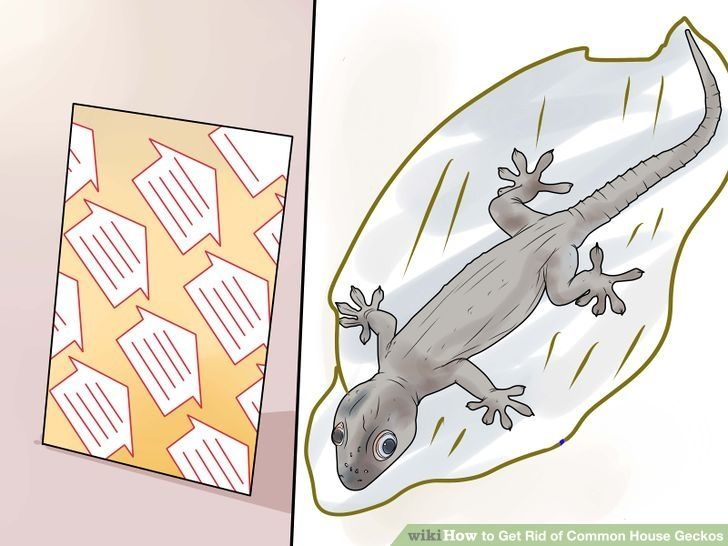 Get rid of common house geckos asian house clean house