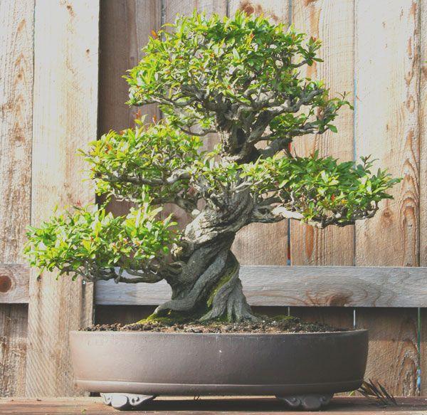 California Bonsai Studio Bonsai Tree Types Bonsai Tree Bonsai Tree Care