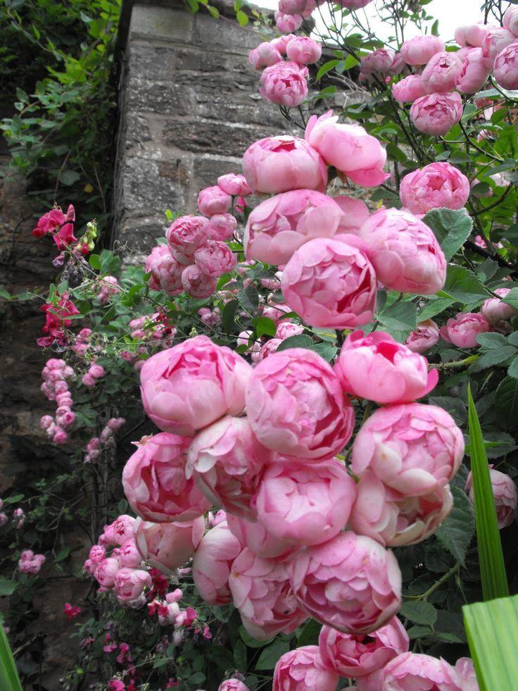 The Ballerina Rose Bush A Modern Shrub Rose Has Pink Rose Flowers That Looks Like Hydrangea Heads Descripti Flower Garden Pink Rose Flower Beautiful Flowers