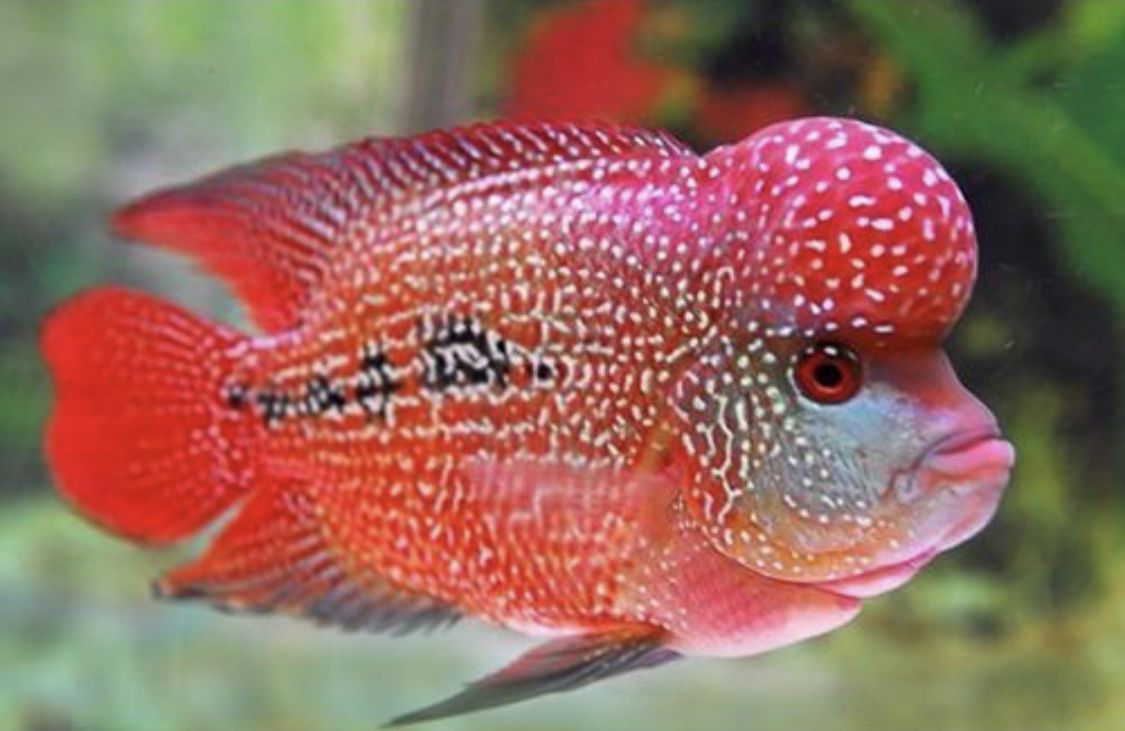 Flowerhorn Cichlid Strawberry Flowerhorn Cichlid Repzotics Cichlids Cichlid Fish Freshwater Fish For Sale