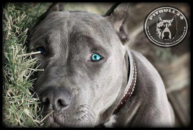 Why An American Bully Is Not Just A Man Best Friend American Bully Dog Breed Info Center Pitbull Terrier Pitbulls Beautiful Dogs