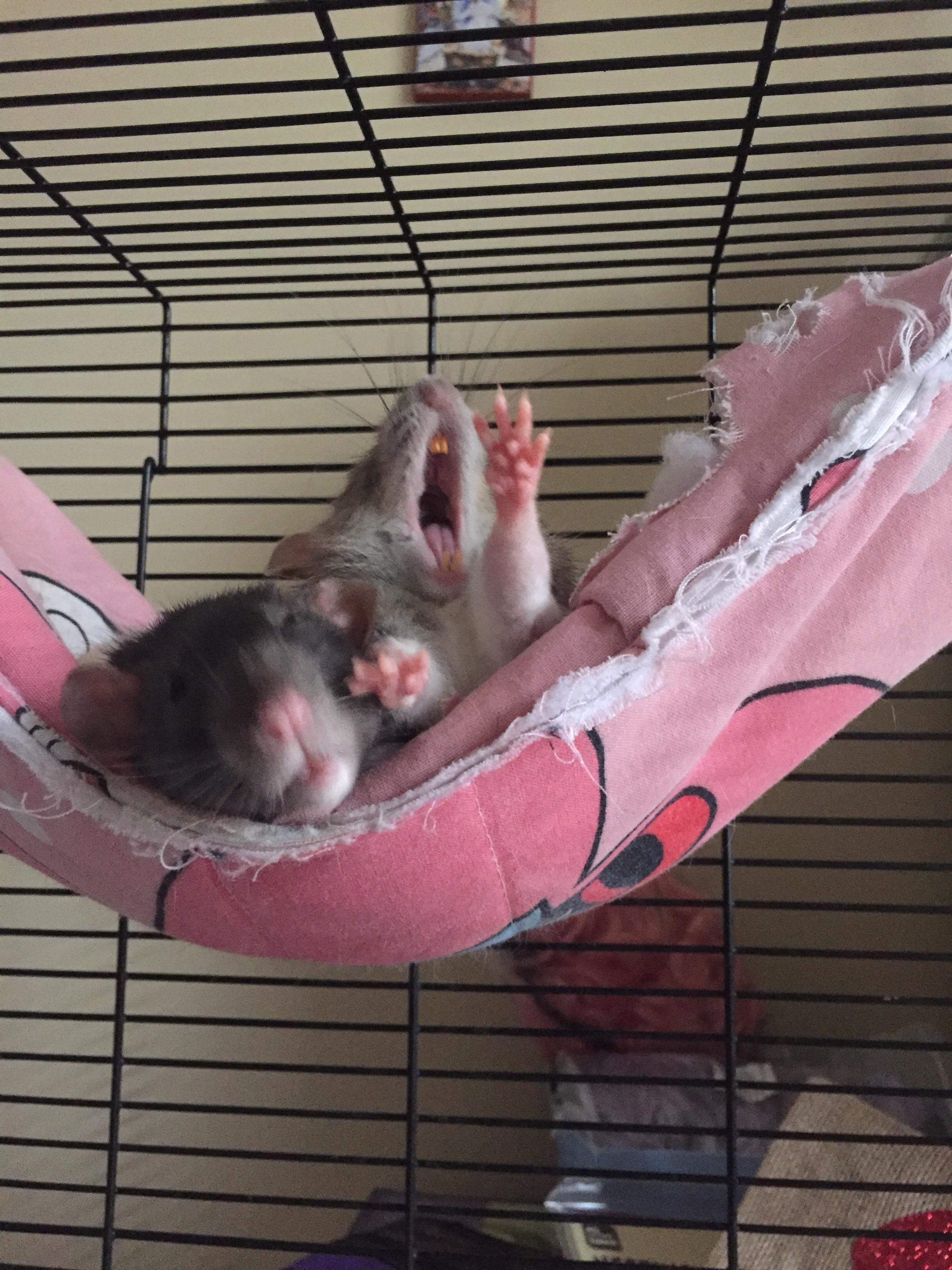 Big Yawn Small Ratto Aww Cute Rat Cuterats Ratsofpinterest Cuddle Fluffy Animals Pets Bestfriend Ittssofluffy B Beste Vrienden Knaagdieren Beestjes