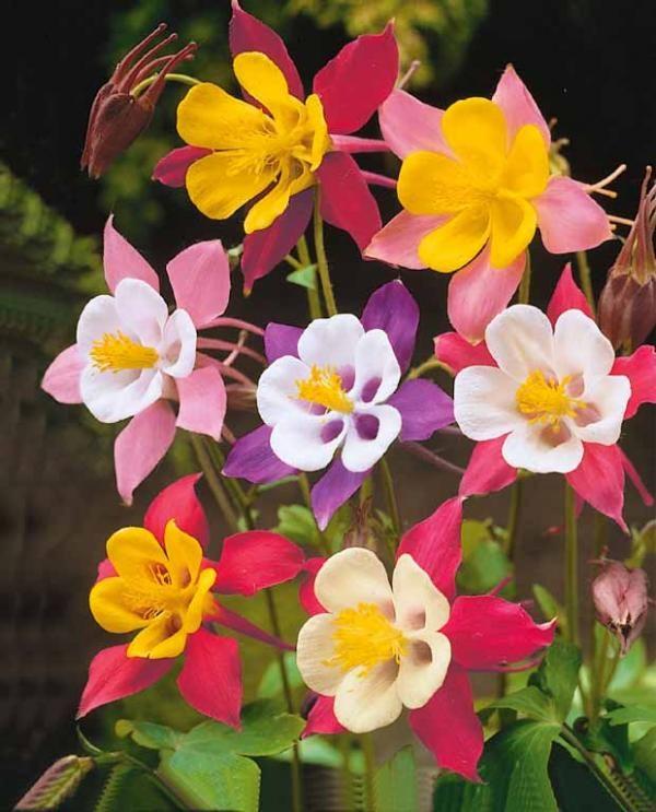 leurs fleurs l gantes sont semblables des papillons tr s color s elles poussent facilement. Black Bedroom Furniture Sets. Home Design Ideas