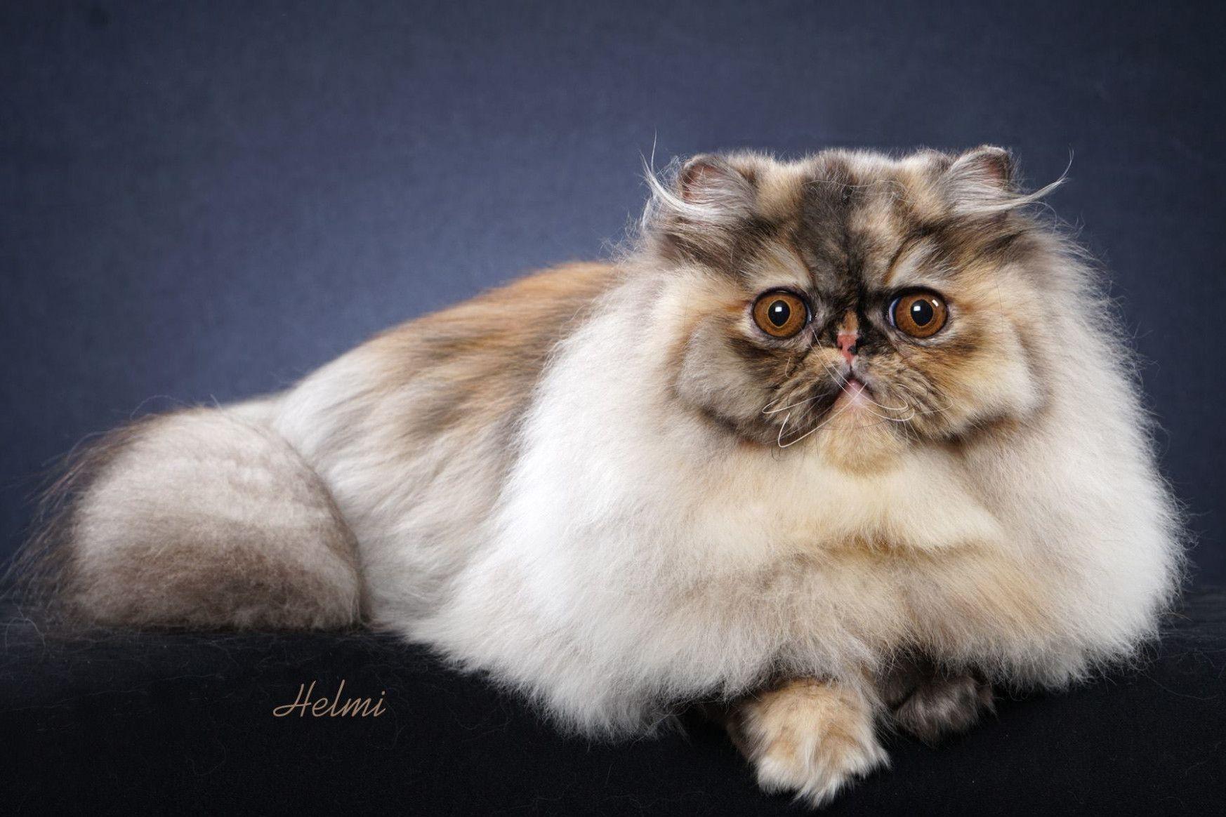 12 Female Persian Cat Image in 2020 Persian kittens