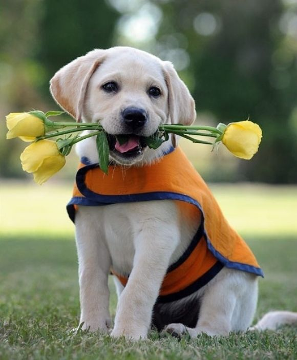 Guide Dog Puppy Cutest Paw Cute Animals Puppies