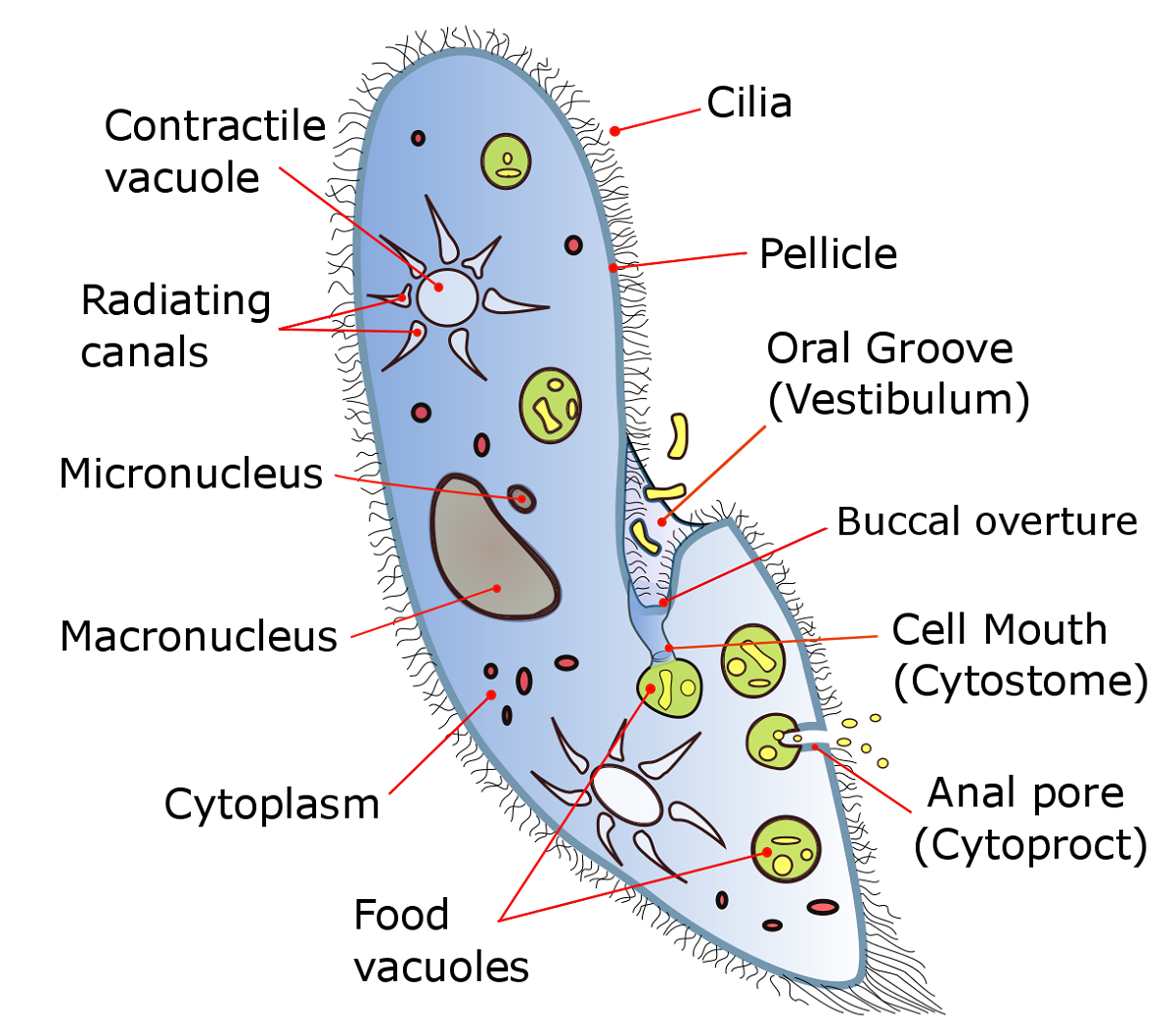 hight resolution of paramecium diagram nucleus printable diagram