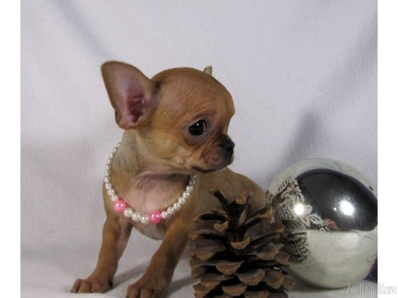 Chihuahua Puppies For Sale In Md Chihuahuabreeds Chihuahua