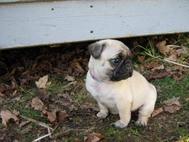 Pug Puppies For Sale Philippines Zoe Fans Blog Pug Puppies