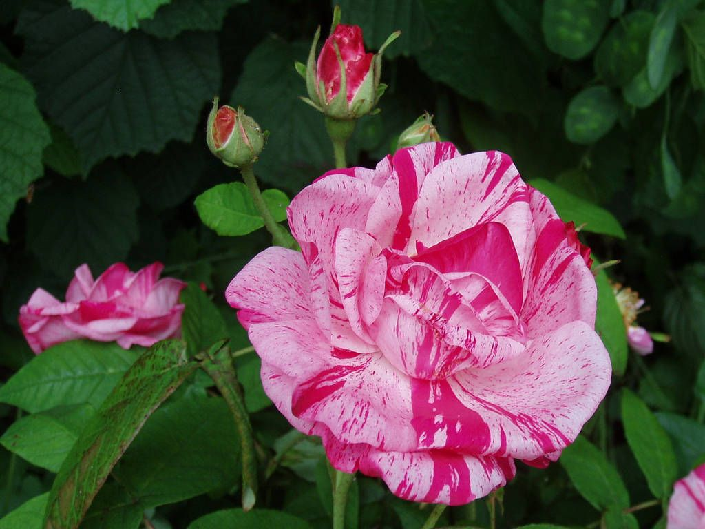 Popular roses and how to prune them plants - Rose cultivars garden ...