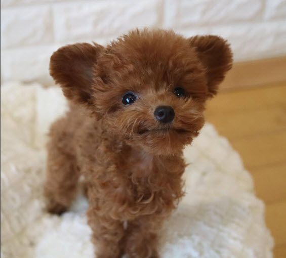 Treats Pleez Http Ift Tt 2dojnhp Cute Dog Toys Toy Poodle