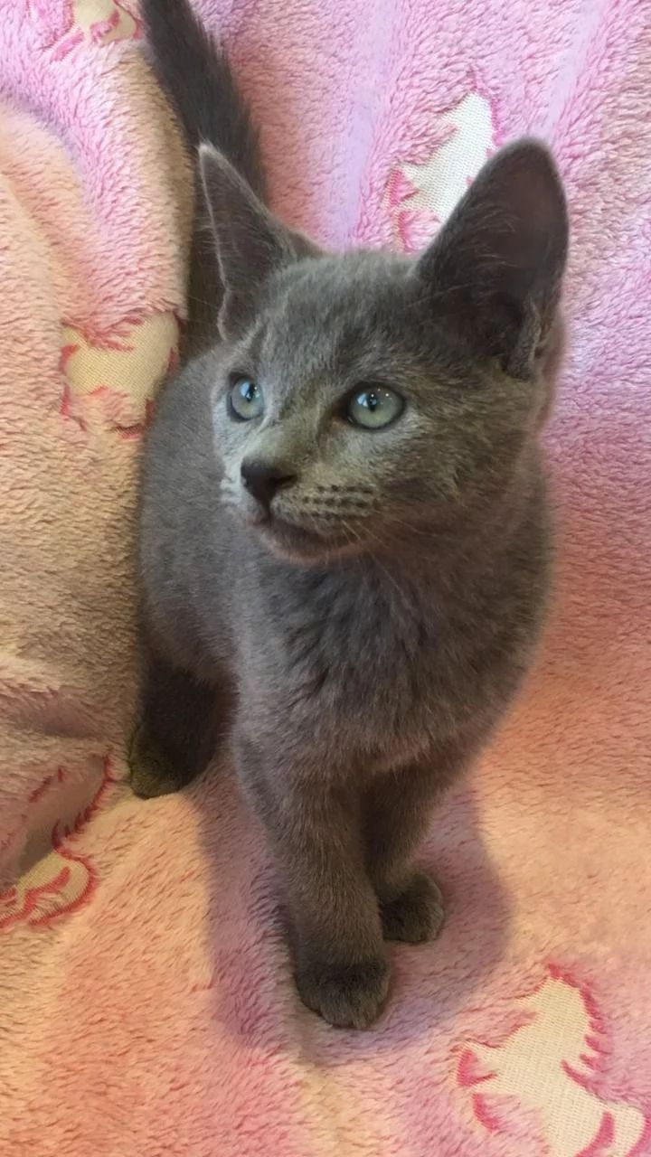 Our Available Russian Blue Kittens Silver Blues Cattery