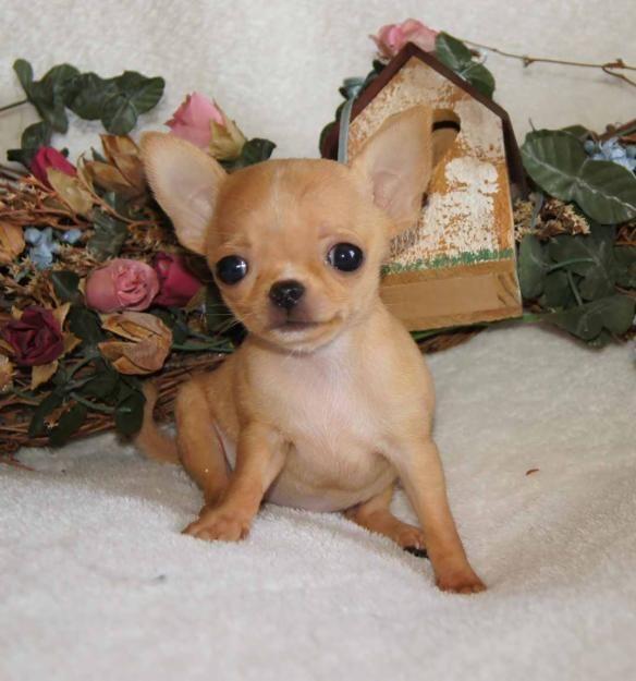 Chihuahua Puppies Niedliche Hunde Niedliche Welpen Chihuahua