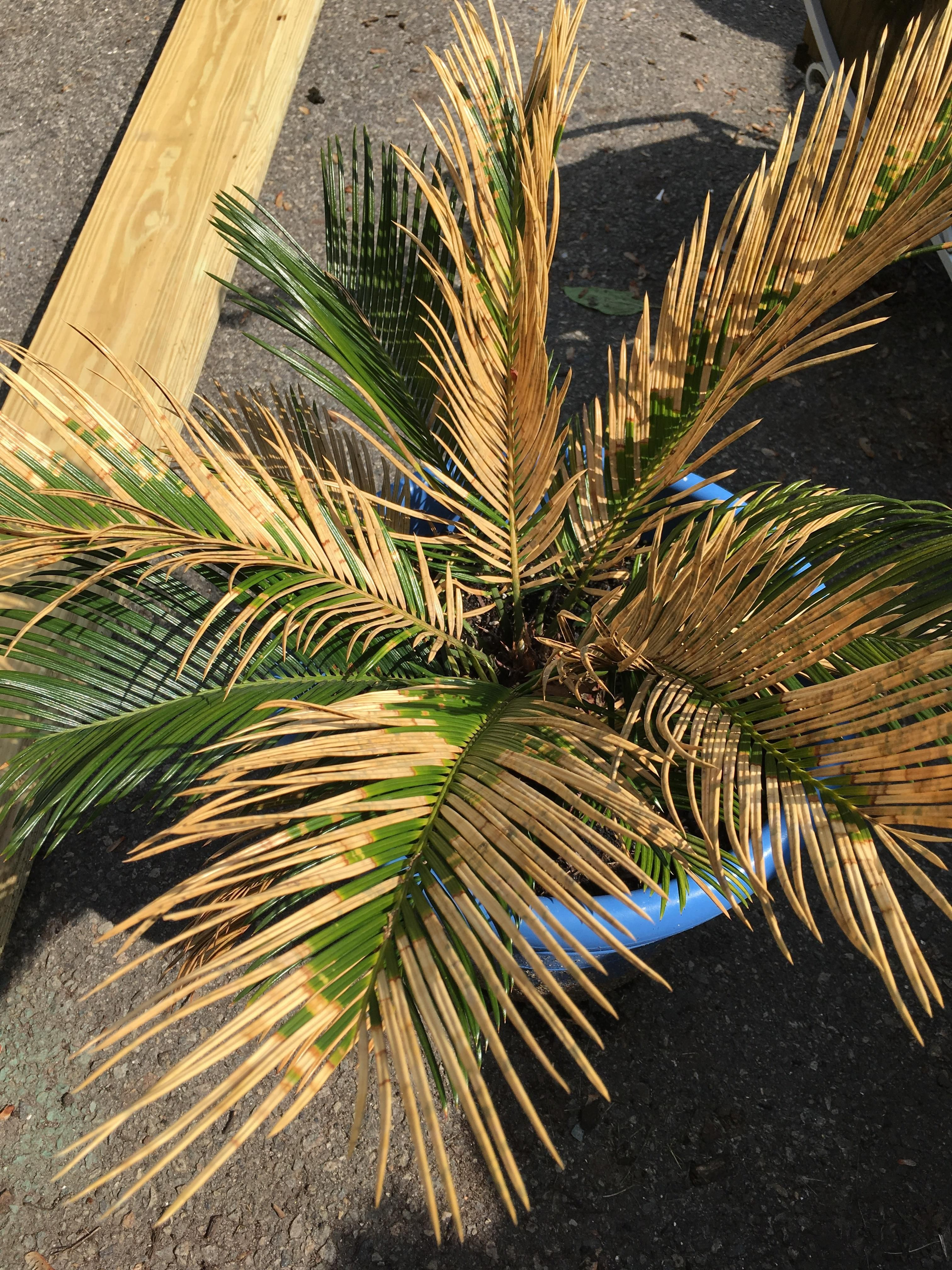 Whats Wrong With My Poor Sago Palm It Turned A Little Brown This Winter It Got Cold Before I Brought It Insid Sago Palm Palm Tree Care Palm Trees Landscaping