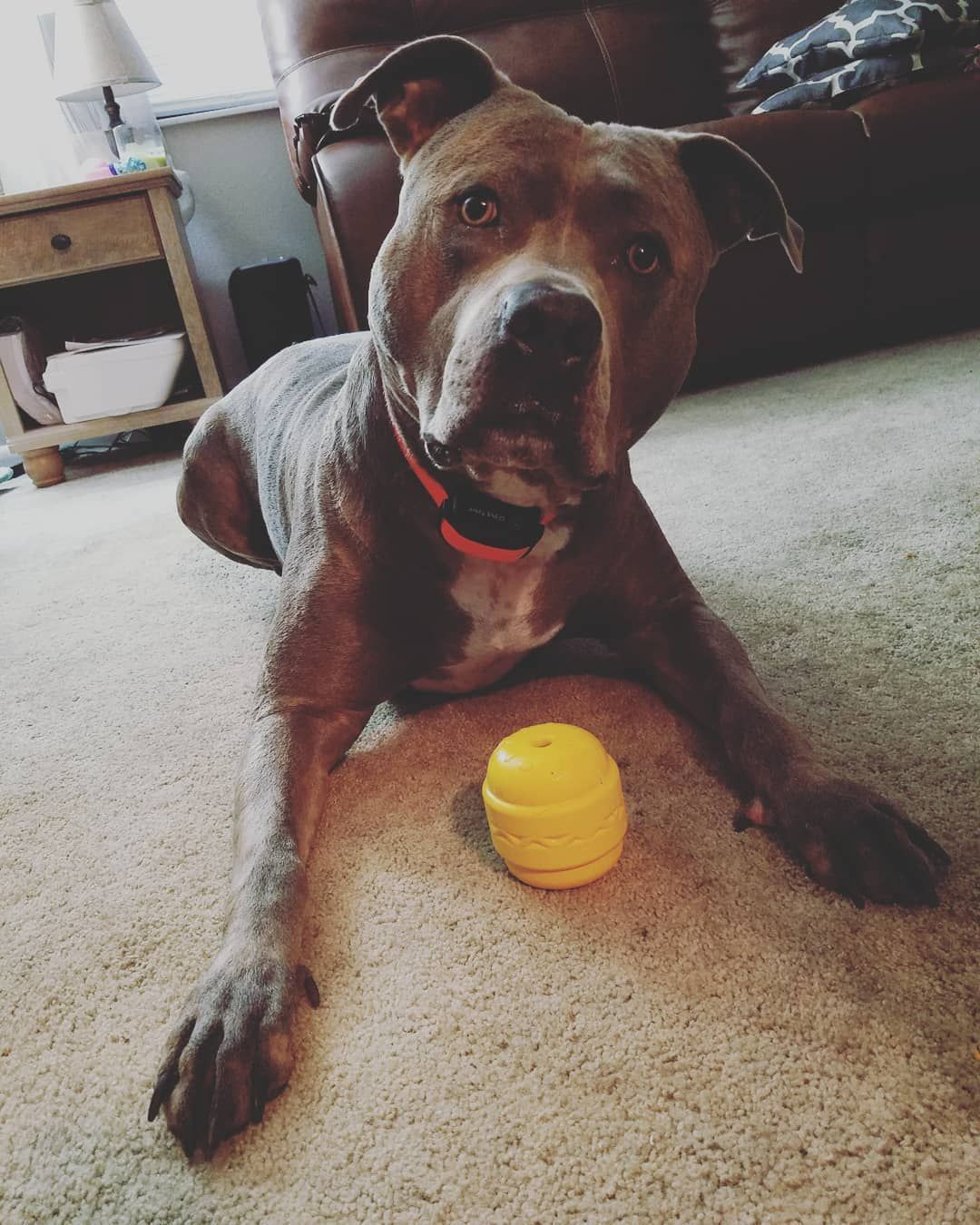 Mom Will You Just Let Me Chew On My New Toy Kearstinashley Bullymake Com Diesel Pitbullsofinstagram Dontbullymyb Puppies Dogs And Puppies Pitbull Mom