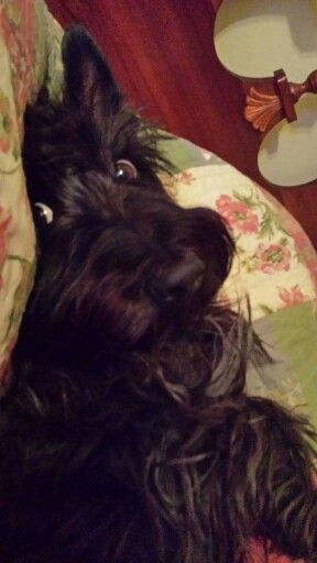 Malcolm ( Owner Diane Rawson Hopkins - Beautiful Scotties )