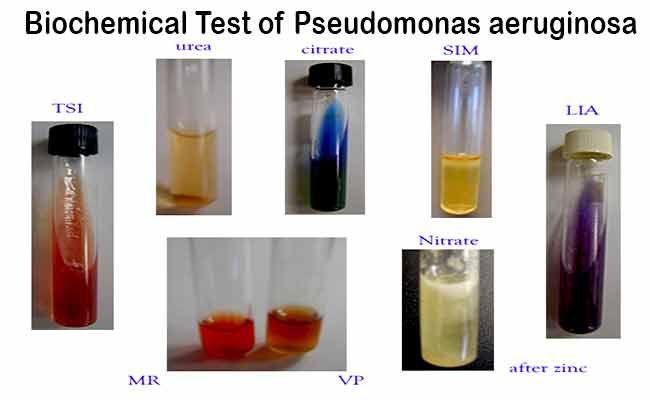 phenol acid and chick intestinal morphology pdf