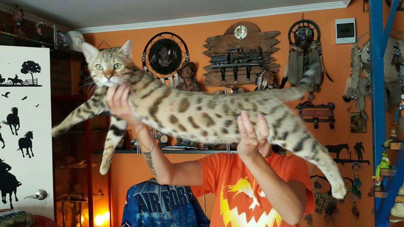 Bengal#cat#Cinnaboni#boy | Bengal cat Colorado