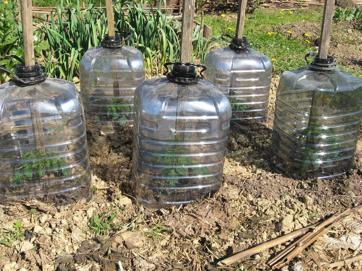 Planter Des Tomates En Pot premiers pieds de tomates sous cloches. | idées jardin, pots