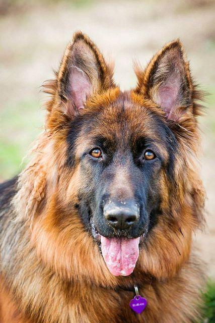 1 10 Yoshi2 German Shepherd Dogs Shepherd Dog German Shepherd