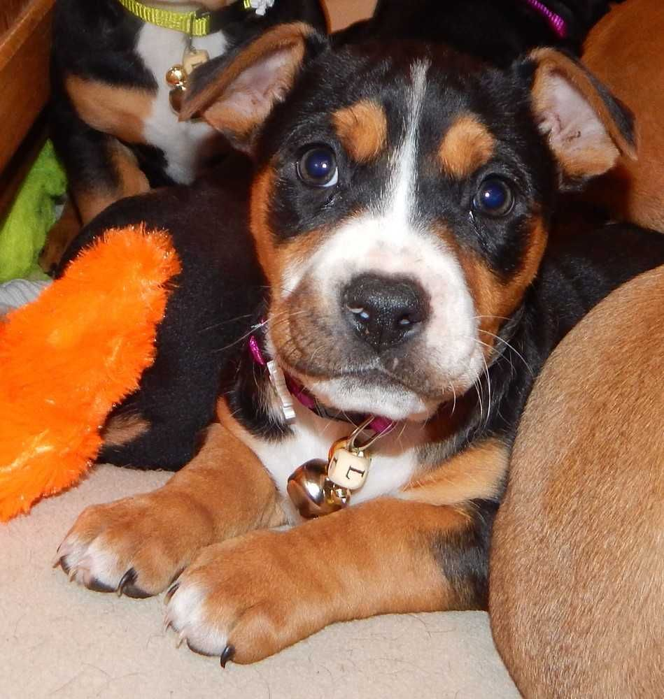 Boxer dog for Adoption in Fayette, MO. ADN417059 on