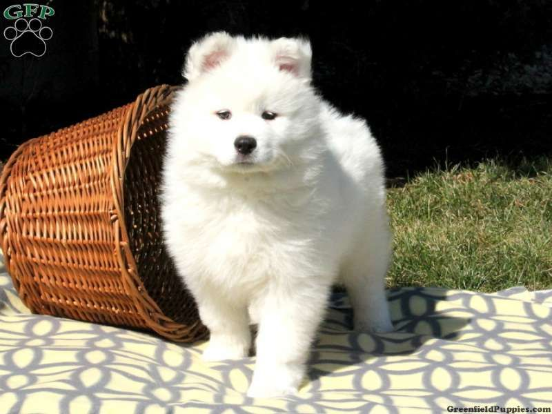 Samoyed Puppies For Sale Samoyed Breed Profile Greenfield Puppies Samoyed Puppy Samoyed Puppies For Sale Samoyed