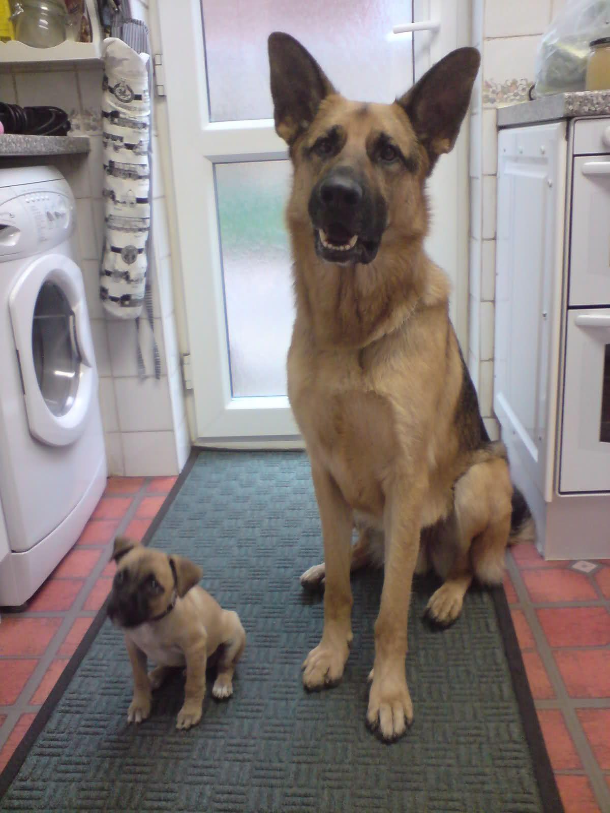 Short Coated German Shepherd Dog With Puppy Germanshepherds