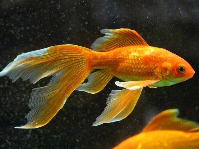 Pin On Goldfish Splendor