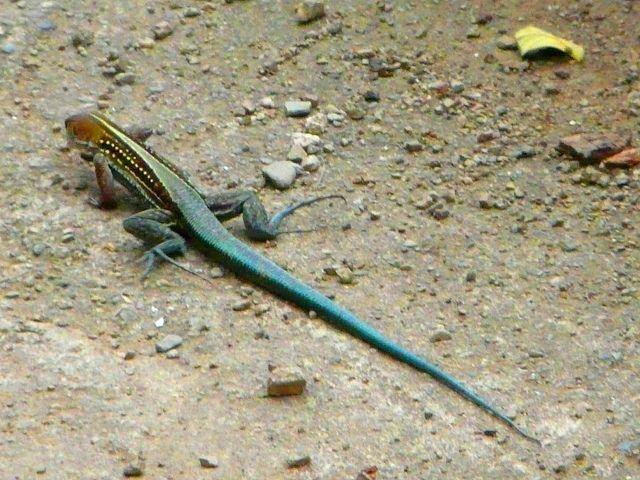 jamaican ground lizard | Jamaica history, Jamaican culture, Lizard