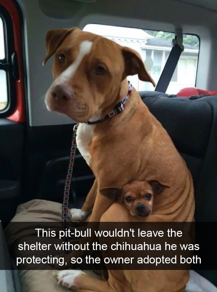 "Best Funny Pets #NationalPetDay! Here Are 25 Snaps of Adorable Pets to Make You Smile We love stories that show the soft side of breeds many feel to be ""too vicious to adopt."" What a sweet boy making sure his brother was protected, too! Click to see more funny pics of pets! #top5 #topfive #meme #funny #funnymeme #funnypic #funnytweet #funnyphoto #hilarious #animal 10"