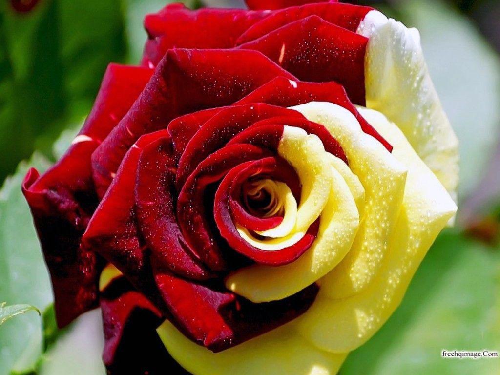 صور خلفيات ورود جميلة جدا عالية الدقة اجمل الصور صور جميلة Hd Yellow Rose Flower Rose Seeds Flower Seeds