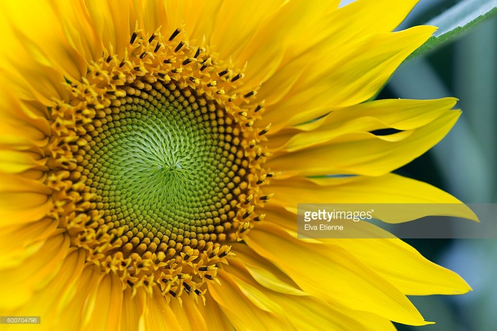 Close Up Of Centre And Petals Of A Sunflower Sunflower Close Up Petals