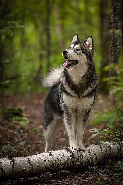 Alaskan Husky Dogs Husky Lovin Alaskan Dogs Husky Lovin