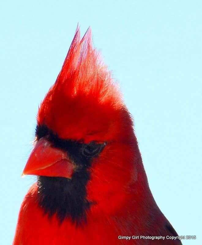 Northern Cardinal in Paducah KY Photo by Terrie Westerman