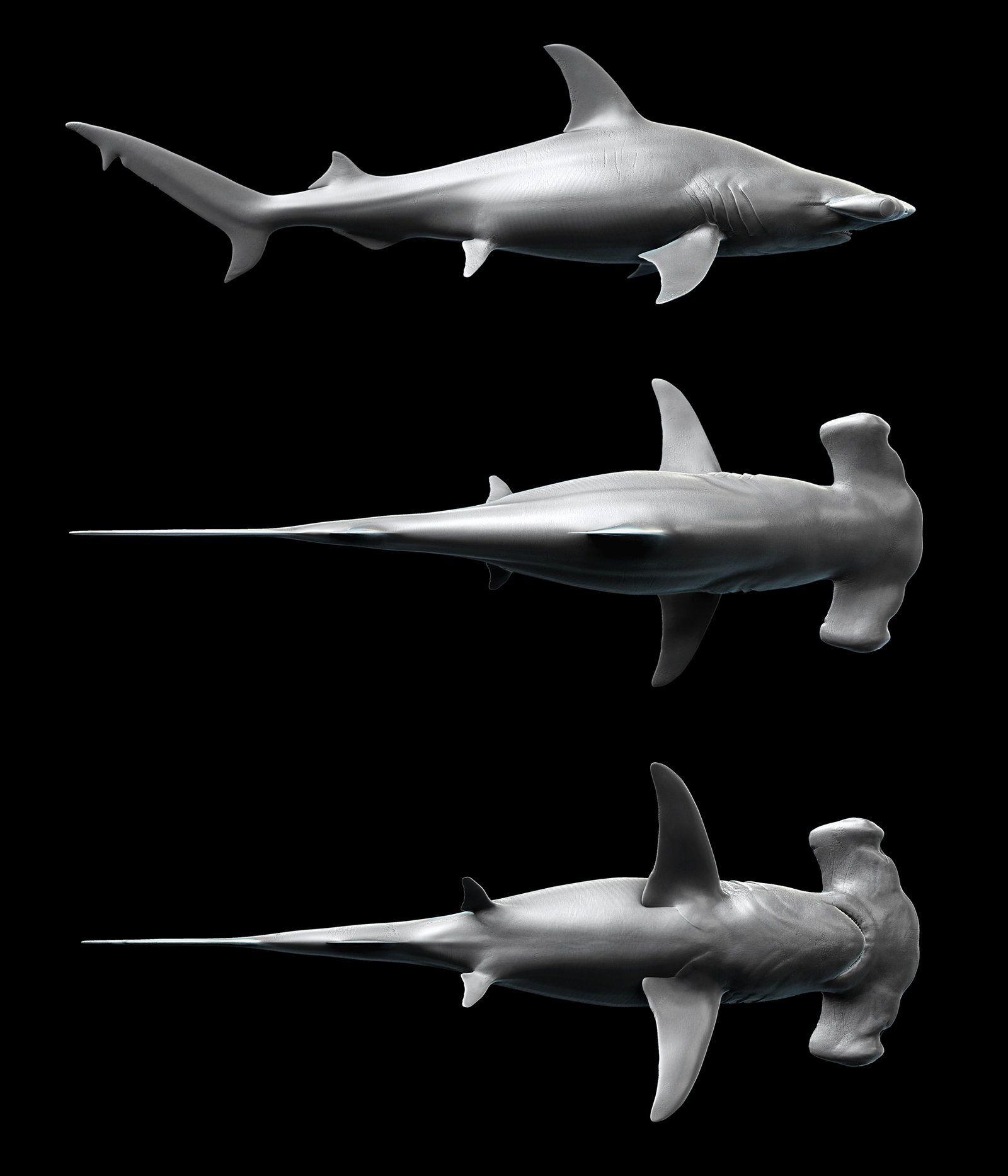 HammerHead Shark - Sphyrna mokarran by Kimsuyeong81.deviantart.com ...