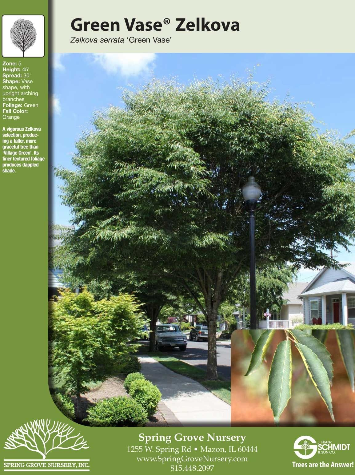 Green Vase Zelkova Tree Facts Landscaping Images Green